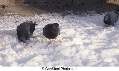 Doves on snow - Big white seagull fed crumbs stern ferry