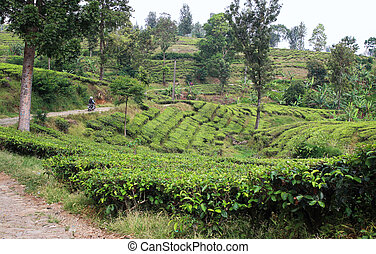 Road in tea plantation - Tea plantation in Indonesia with...