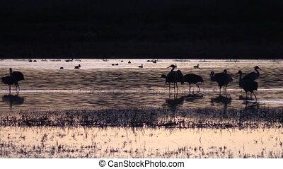 Sandhill Cranes at Sunrise - sandhill cranes standing...