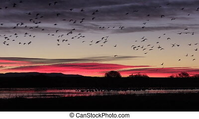 Snow Geese at Sunrise - flocks of snow geese, ducks and...