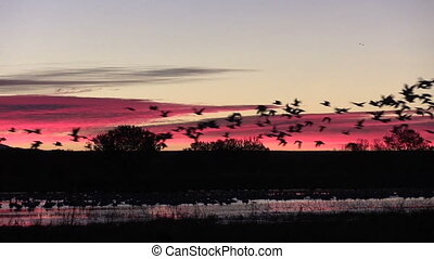 Sunrise Take Off - huge numbers of snow geese, cranes and...