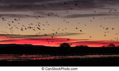Early Morning Flight - huge numbers of snow geese, cranes...