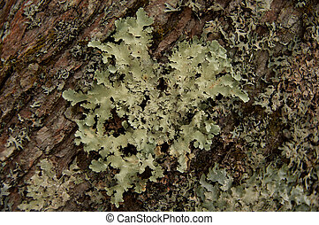 Lichens growing on a tree.