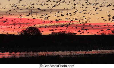 Morning Flight - huge numbers of snow geese, cranes and...