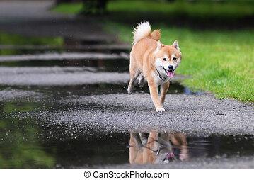 Jumped dog shiba inu