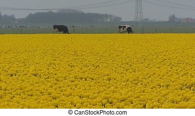 Yellow blooming tulip bulbfield - Yellow tulip field with...