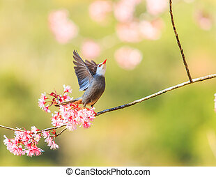 Bird on Cherry Blossom and sakura (White-headed Bulbul)
