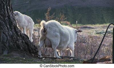 White Little Goat - White little goat in farm yard