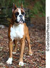 Boxer - Awesome young boxer on a park in autumn