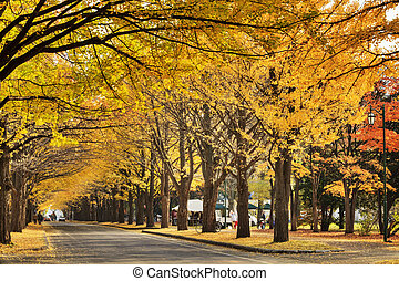 beautiful Ginkgo along the lenght of the street - YOKOSO,...