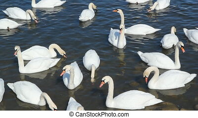 Swans - Group of swans in the lake Winter in Collingwood,...