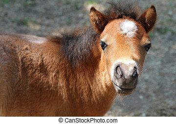 young pony - Close up of baby miniature horse in the pasture...
