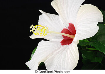 White hibiscus - Beautiful white hibiscus isolated on the...