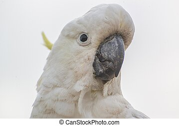 Sulphur-crested cockatoo - sulphur-crested cockatoo,...