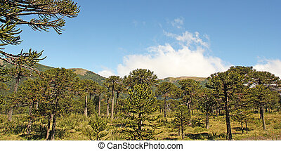 chile, bosque,  araucaria,  Patagonia, chileno