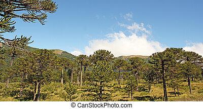 chile, bosque,  araucaria,  Patagonia, chileno