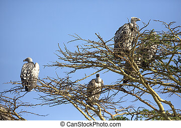 Vultures in Africa - Flock of vultures sitting in a tree...