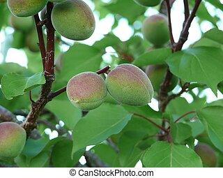 Unripe apricots on a tree