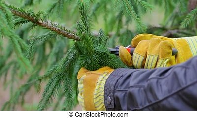 Man with scissors pruned spruce branches