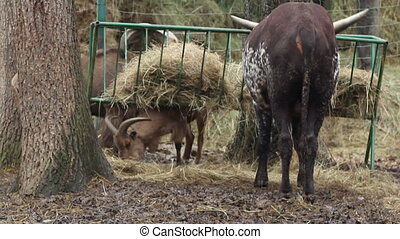 Two Cornuted Eating - Two cattle goat and an ox quietly...