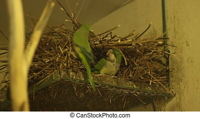 Parrots Nest - A parrot with a twig in its beak is building...