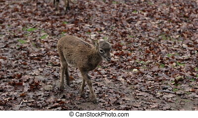 Baby Deer - Little brown baby deer, along muflons on an wet...