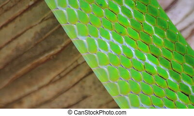 skin of Red Tailed Green Ratsnake (Elaphe Gonyosoma...