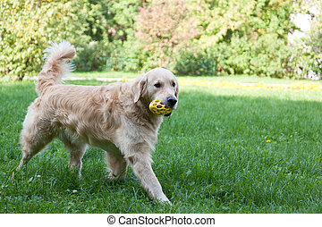 Dog of breed a golden retriever goes on a grass with a toy...