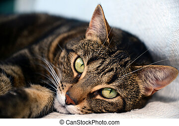 Egyptian Mau cat - Photo of a egyptian mau cat with green...