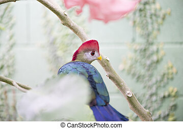 Turaco, Tauraco erythrolophus perched on a branch