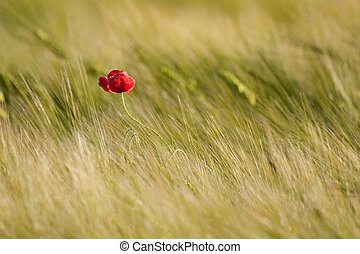 Single poppy in the field