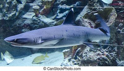 鯊魚, 游泳,