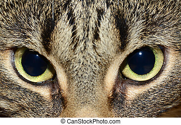 Egyptian Mau - cats eyes - Photo of a egyptian mau cat with...