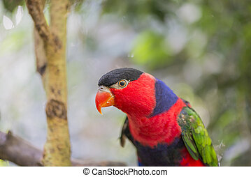 tricolor parrot, Lorius lory perched on a stick