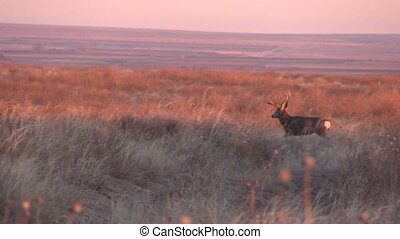 Mule Deer Buck at Sunrise - a mule deer buck on the prairie...