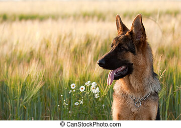 German Shepherd - German shepherd in front of wheat field...