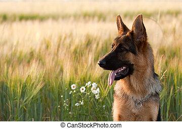 German Shepherd - German shepherd in front of wheat field...