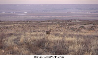 Mule deer Buck - a mule deer buck on the high plains