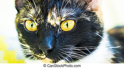 Yellow eyed cat's face close - Yellow eyed tricolour cat...