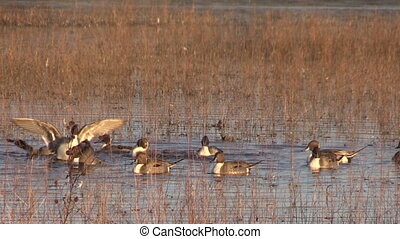 Pintails in the Marsh - male pintails swimming in a marsh