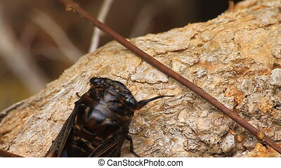 Cicadas in the trees, close up insect from nature