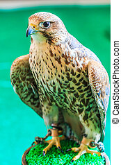 A Red-tailed hawk (Buteo jamaicensis)