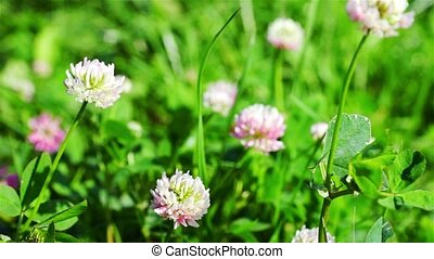 Dewy White And Red Clover Plants - Closeup of dewy white and...