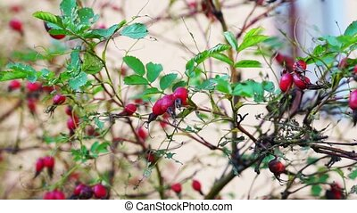 Red Briar With Green Leaves On The Wind - Rose hips moving...