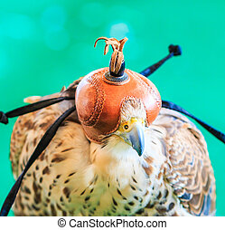 A Red-tailed hawk Buteo jamaicensis covered with falconry...