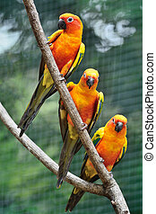Sun Conure - Colorful parrot bird, Sun Conure Aratinga...