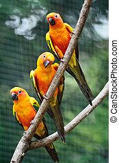 Sun Conure - Colorful parrot bird, Sun Conure (Aratinga...