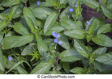 Background of the corn mint.