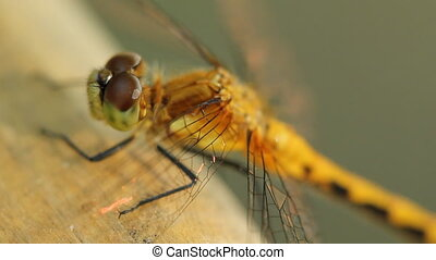 Dragonfly Macro shot - Closeup of dragonfly Summer in...