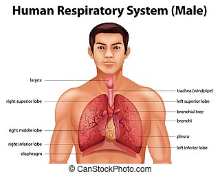 Human respiratory system - Illustration of the human...